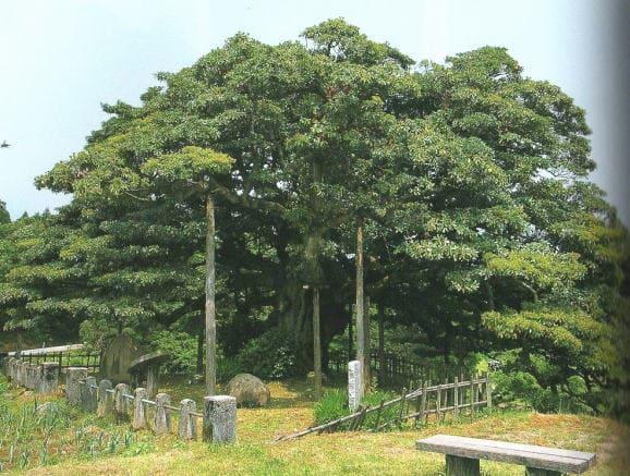 イヌグスの木